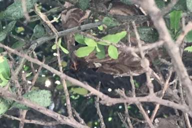枝の奥に巣を作るスズメバチ