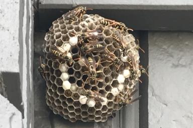 15cmクラスのフタモンアシナガバチの巣