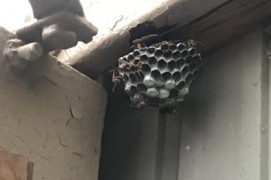 奥にある少し大き目なアシナガバチの巣