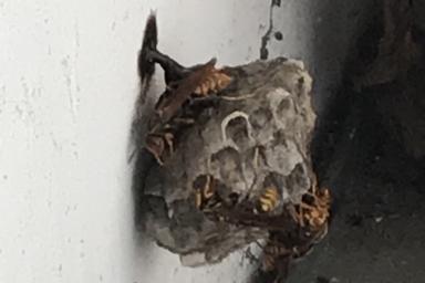 外壁部分に巣を作るアシナガバチ