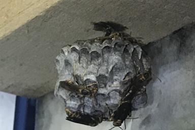 物置に巣を作るアシナガバチの巣