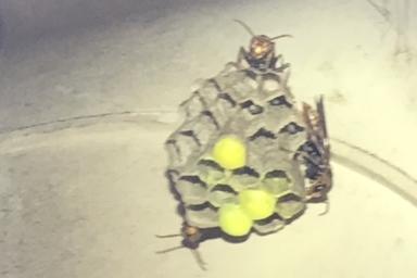 黄色のさなぎが特徴的なキボシアシナガバチ