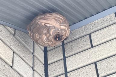 ベランダに巣を作るスズメバチ
