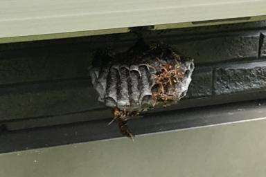 窓サッシの下に巣を作るアシナガバチ