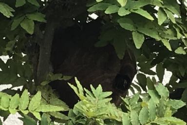 庭の木の中に巣を作るスズメバチ