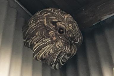 田原市で納屋の軒下に作られたスズメバチの巣