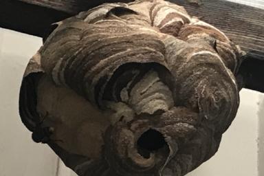 頭の上に巣を作られているスズメバチの巣