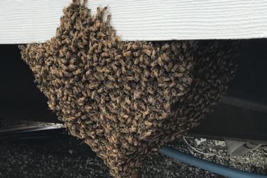大量のミツバチが作る蜂球