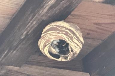 とっくり状態から柄の部分が取れたばかりのスズメバチの巣。中が丸見えになっています。