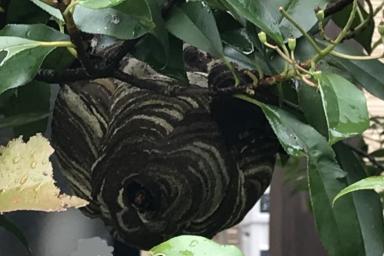 庭の木に巣を作るスズメバチ