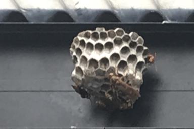 物干し屋根に巣を作るアシナガバチ