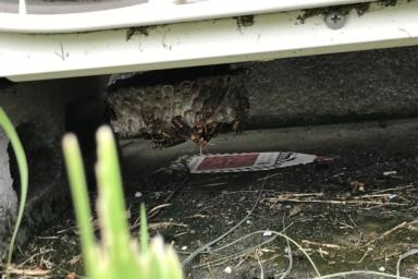 12cmクラスのアシナガバチの巣