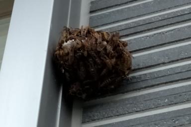 わさわさ動き回るアシナガバチ