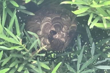 垣根の中のスズメバチ