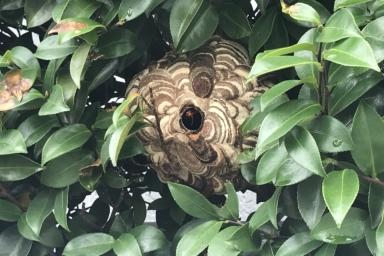 真ん丸のスズメバチの巣