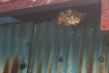 湖西市のアシナガバチ
