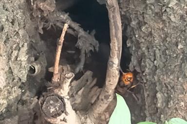 木の隙間から睨みつけるヒメスズメバチ