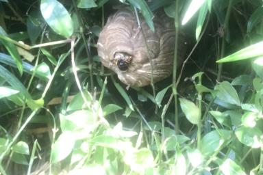 地面すれすれに巣を作るスズメバチ
