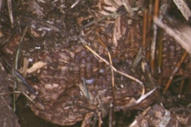 地面の中に作られているオオスズメバチの巣