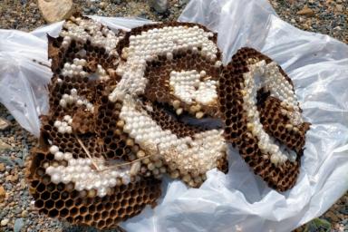 巨大なオオスズメバチの巣