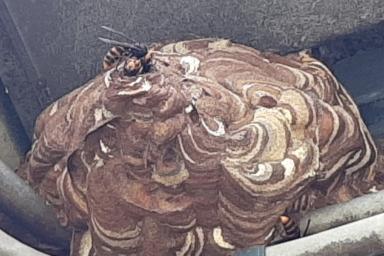 外壁に巣を作るスズメバチ
