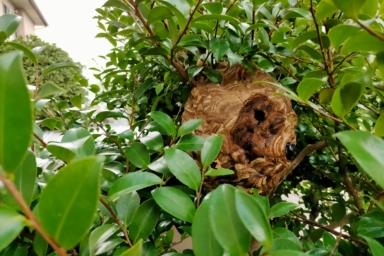 磐田市のスズメバチの巣