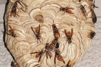 浜松市のキイロスズメバチ