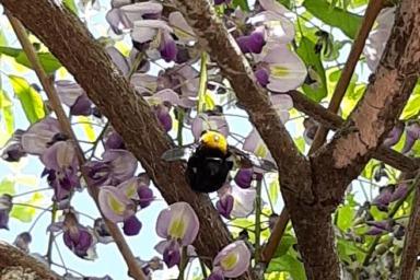 藤の花に群がるクマバチ