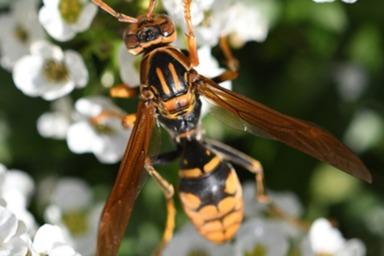 花粉を集めるアシナガバチ
