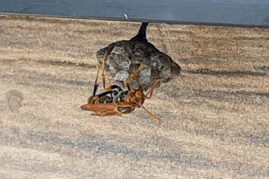 巣を作るアシナガバチ