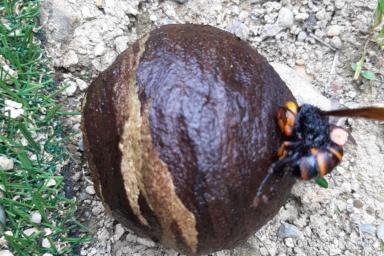 取り外した巣とスズメバチ