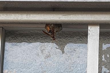 窓のサッシに巣を作るアシナガバチ