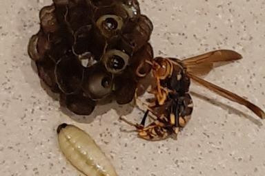 アシナガバチの女王バチと幼虫