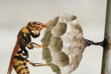 巣を作っているアシナガバチ