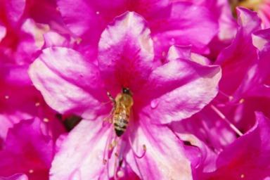 ツツジで餌を集めるミツバチ