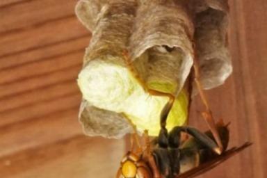 軒下に巣を作るキボシアシナガバチ