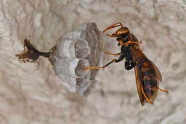 磐田市で外壁に巣を作っているアシナガバチ