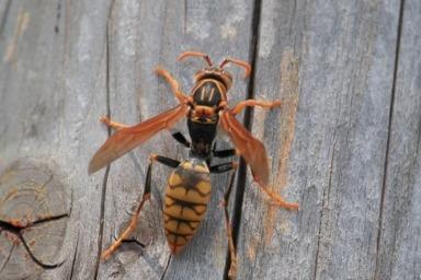 大切な家屋にいたずらするアシナガバチ