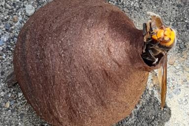 巣穴に引っかかっていたスズメバチ