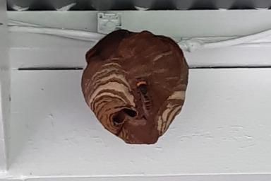 コードに巣が作られていたスズメバチの巣