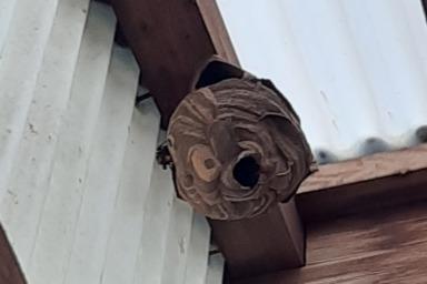軒下に巣を作るスズメバチ