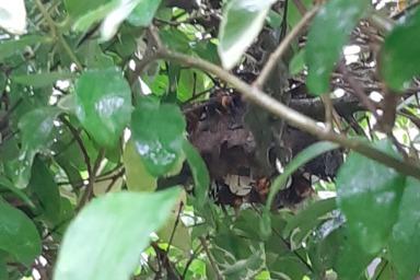 外皮カバーのないコガタスズメバチの巣