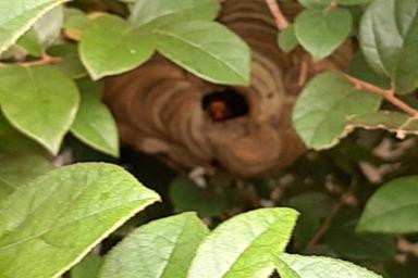 細い庭木に巣を作るスズメバチ
