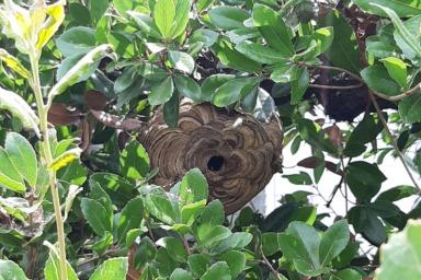 浜松市で庭木の中に作られたスズメバチ