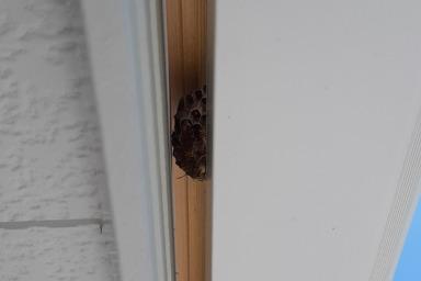湖西市のアシナガバチの巣