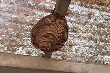 豊橋市のスズメバチの巣