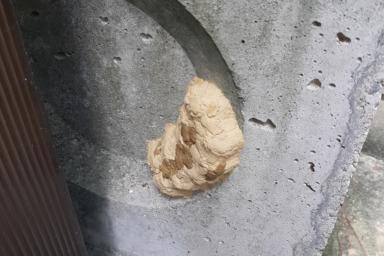 湖西市のドロバチの巣