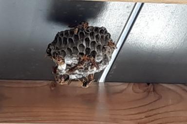 磐田市のウッドデッキ下に作られたアシナガバチの巣