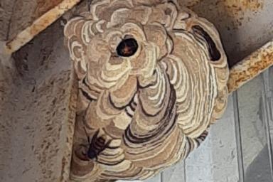 浜松市のスズメバチの巣