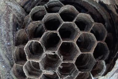 幼虫の姿が全くないキイロスズメバチの巣